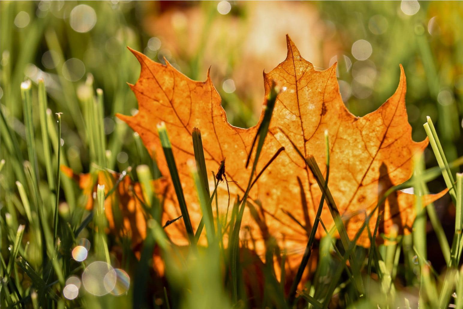 Liść klonu leżący w trawie